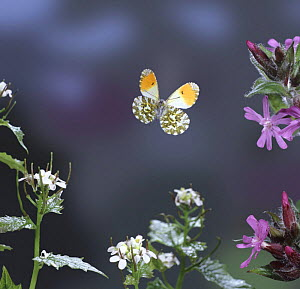 Orange tip butterfly (Anthocharis cardamines) male in flight, digitally enhanced, Surrey, England  -  Kim Taylor