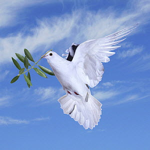 White rock dove / Feral pigeon (Columba livia) in flight, carrying olive branch of peace, digital composite, Surrey, England - Kim Taylor