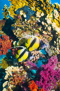 Red Sea bannerfish (Heniochus intermedius) pair at rest near firecoral and soft corals. Red Sea, Egypt. - Georgette Douwma