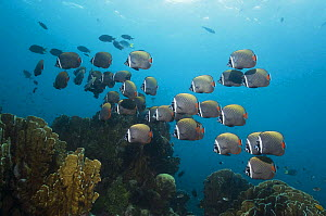 Collared / Redtail butterflyfish (Chaetodon collare) Andaman Sea, Thailand.  -  Georgette Douwma