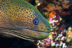 Head of Giant moray eel (Gymnothorax javanicus) Rinca, Indonesia.  -  Georgette Douwma