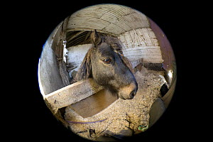 Fish eye lens view of Shetland pony (Equus caballus) in stable, UK.  -  Georgette Douwma