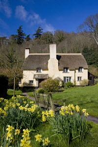 Thatched cottage and daffodils (Narcissus) in the Exmoor village of Selworthy, Somerset, England.  -  Adam Burton