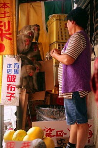 Formosan macaques (Macaca cyclopis) stealing tomatoes from a fruit stall, Kaohsiung, Taiwan.  -  Nick Upton