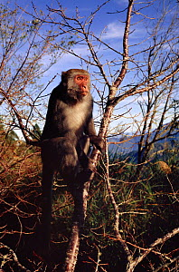 Formosan macaque (Macaca cyclopis) basking in sunshine at dawn, 2600m high in Taiwan's mountains near Alishan. Macaques can become frostbitten at this altitude.  -  Nick Upton