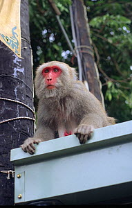 Formosan macaque (Macaca cyclopis) watching fruit stall intently, Kaohsiung city, Taiwan. This very red faced animal is a high ranking female.  -  Nick Upton