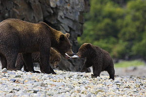 Kodiak / Alaskan brown bear (Ursus arctos middendorffi) mother feeding fish to cub of 6-8 months, Katmai National Park, Alaska, USA - Suzi Eszterhas