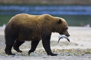 Kodiak / Alaskan brown bear (Ursus arctos middendorffi) carrying caught fish in jaws. Katmai National Park, Alaska, USA - Suzi Eszterhas