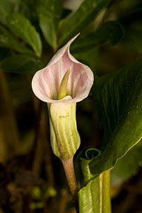 Chinese Jack-in-the-pulpit (Arisaema candidissimum), native to China, growing in a garden in Bavaria, Germany, June  -  Martin Gabriel
