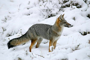 South American grey fox (Pseudolopex / Lycalopex griseus) standing in snow, Torres del Paine National Park, Chile, July  -  Freya Short