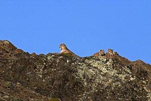 Puma (Felis / Puma concolor) female and two cubs resting on top of rocks, Torres Del Paine National Park, Chile, 2004  -  Freya Short