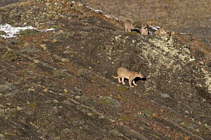 Puma (Felis / Puma concolor) female and four cubs resting on top of rocks, Torres del Paine National Park, Chile, 2004  -  Freya Short