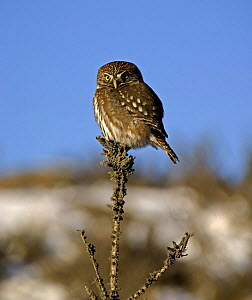 Austral pygmy owl (Glaucidium nanum) perching on the top of a branch, Torres del Paine National Park, Chile, 2004  -  Freya Short