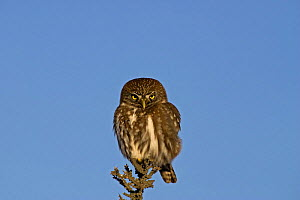 Austral pygmy owl (Glaucidium nanum) perched on the top of a branch, Torres del Paine National Park, Chile, 2004  -  Freya Short