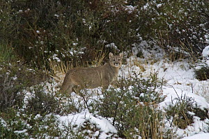 Puma (Puma / Felis concolor) cub standing among bushes in the snow, Torres del Paine National Park, Chile, July  -  Freya Short