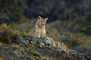 Puma (Felis / Puma concolor) looking down from rocks, Torres del Paine National Park, Chile, July 2004  -  Freya Short