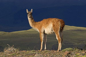 Guanaco (Lama guanicoe) standing on look out, Torres del Paine National Park, Chile  -  Freya Short