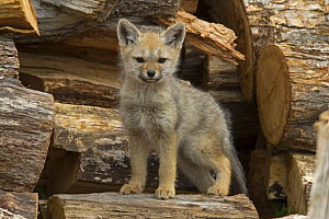Argentine / South American grey fox (Pseudalopex / Lycalopex griseus) cub standing on a wood pile, Torres del Paine National Park, Chile  -  Freya Short