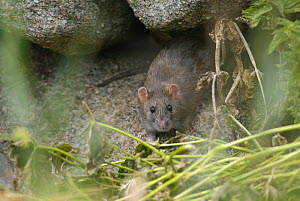 Brown Rat (Rattus norvegicus) emerging from stone wall, St. Martins, Isles of Scilly, Cornwall, UK. August  -  Tim Martin