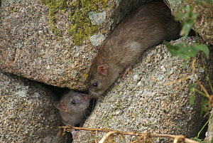 Two Brown Rats (Rattus norvegicus) meeting in a stone wall. St. Martins, Isles of Scilly, Cornwall, UK. August  -  Tim Martin
