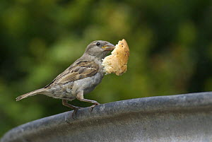 House / Common sparrow (Passer domesticus) female with bread in its beak. Isles of Scilly, Cornwall, UK. August  -  Tim Martin