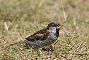 Male House / Common sparrow (Passer domesticus) on grass. Isles of Scilly, Cornwall, UK. August  -  Tim Martin