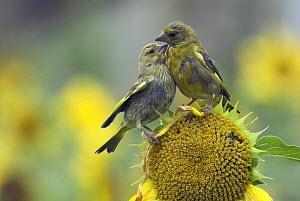 Adult and juvenile Greenfinch (Carduelis chloris) on sunflower, Isles of Scilly, UK. August  -  Tim Martin