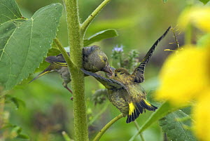 Adult Greenfinch (Carduelis chloris) feeding juvenile on sunflower plant, Isles of Scilly, UK. August  -  Tim Martin