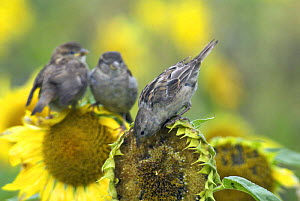 Female Comon / House sparrow (Passer domesticus) feeding on sunflower, two juveniles waiting to be fed in background. Isles of Scilly, UK. August - Tim Martin