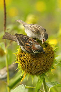 Juvenile House / Common sparrow (Passer domesticus) begging from adult male, perched on sunflower. Isles of Scilly, UK. August - Tim Martin