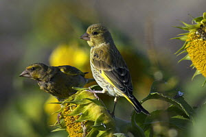 Juvenile Greenfinch (Carduelis chloris) perched on sunflower, adult in background, Isles of Scilly, UK. August - Tim Martin
