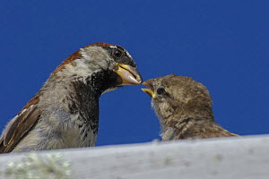 Male Common / House sparrow (Passer domesticus) feeding juvenile on roof. Isles of Scilly, UK. August - Tim Martin