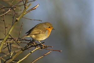Robin (Erithacus rubecula) perched in farmland hedge in winter. Somerset, UK. December - Tim Martin