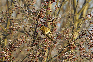 Song thrush (Turdus philomelos) perched in Spindle tree in frost, Wales, UK. December - Tim Martin