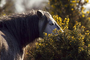 New Forest Pony (Equus caballus) browsing on a gorse bush. New Forest National Park, Hampshire, UK. January 2008. - Tim Martin