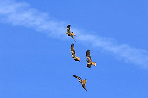 Four Red kites (Milvus milvus) in flight. Three kites chasing a kite with food in its talons. Mid Wales, UK. February - Tim Martin