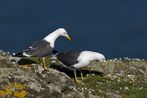 Lesser Black-backed Gulls (Larus fuscus), pair courting on top of sea cliff. Skomer Island, Pembrokeshire Coast National Park, West Wales, UK. April - Tim Martin