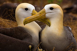 Waved albatross (Phoebastria irrorata) pair at nest after change over for incubation, Punta Suarez, Espa�ola Island, Galapagos Islands  -  Pete Oxford
