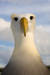Waved albatross (Phoebastria irrorata) portrait, Punta Cevallos, Espa�ola Island, Galapagos Islands  -  Pete Oxford
