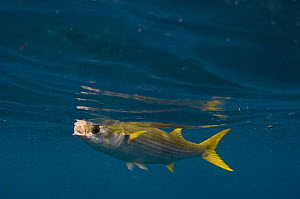 Yellow-tailed mullet (Mugil rammelsbergii) feeding on plankton just below the surface, off Wolf Island Galapagos Islands  -  Pete Oxford