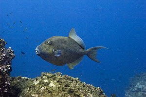 Finescale triggerfish (Balistes polylepis) off Wolf Island, Galapagos Islands  -  Pete Oxford
