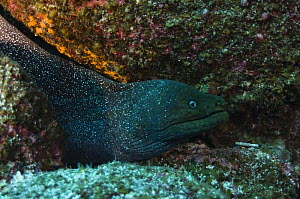Fine spotted moray eel (Gymnothorax dovii) off Wolf Island, Galapagos Islands  -  Pete Oxford