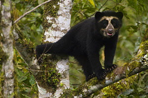 Spectacled / Andean Bear (Tremarctos ornatus) cub in tree, Maquipucuna Foundation Cloud Forest Reserve, Andes, Ecuador, South America  -  Pete Oxford