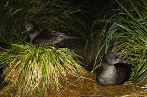 Two Sooty shearwaters (Puffinus griseus) amongst Tussock Grass (Poa flabellata) Kidney Island, Falkland Islands  -  Pete Oxford