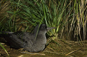 Sooty shearwater (Puffinus griseus) amongst Tussock grass (Poa flabellata) Kidney Island, Falkland Islands  -  Pete Oxford