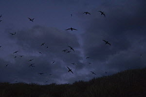Sooty shearwaters (Puffinus griseus) flying, against dark clouds, Kidney Island, Falkland Islands  -  Pete Oxford