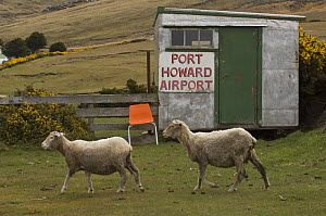 Two Sheep walking past flight shed at Port Howard Airport, Northern end of West Falkland, Falkland Islands - Pete Oxford