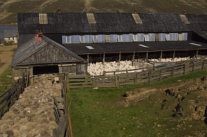 Flock of Sheep in raceway leading to shearing shed, with shorn ones being held before release, Port Howard, Northern end of West Falkland, Falkland Islands  -  Pete Oxford