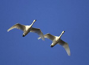 Two Bewick's swans (Cygnus columbianus bewickii) in flight, Slimbridge WWT, Gloucestershire, England, January - STEVE KNELL