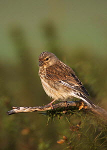 Linnet (Cardeulis / Acanthis cannabina) female carrying hair in bill for nesting material, West Yorkshire, England, May - STEVE KNELL